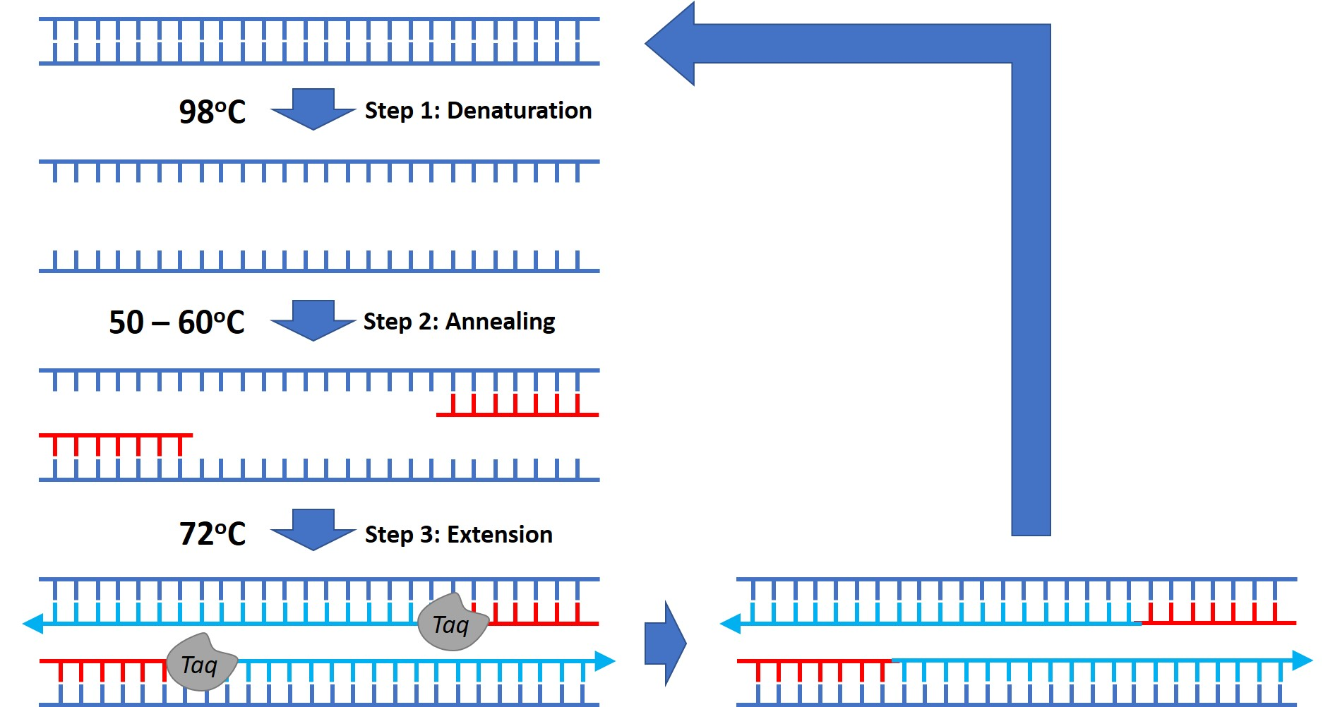 What Is The Polymerase Chain Reaction  Pcr