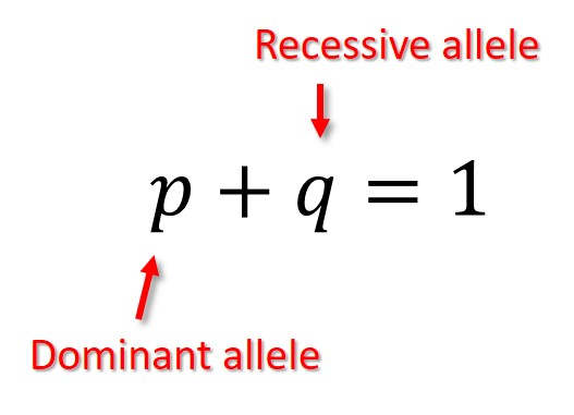 Hardy-Weinberg allele equation