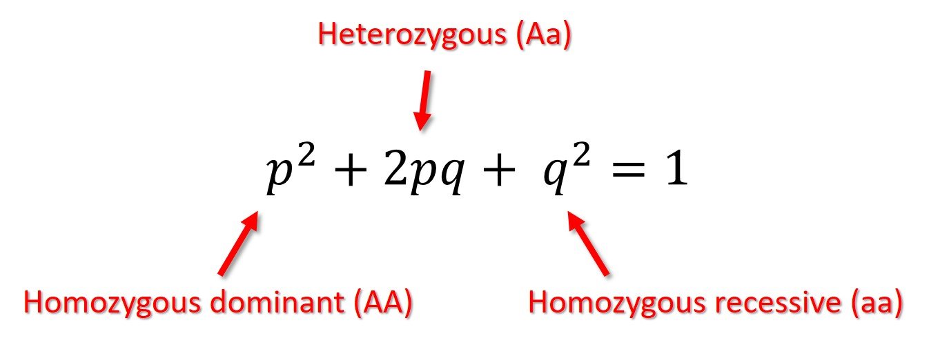 Image result for hardy weinberg equation