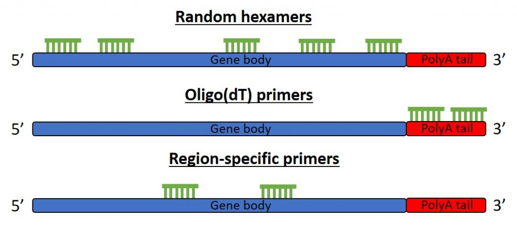Random primers, oligo(dT) and gene-specific primers for cDNA synthesis