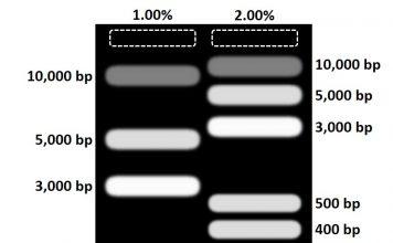 Agarose gel comparison different concentrations
