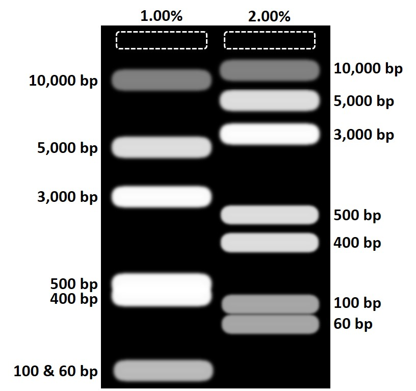 Agarose gel comparison different concentrations