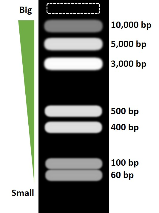 Agarose gel electrophoresis band separation
